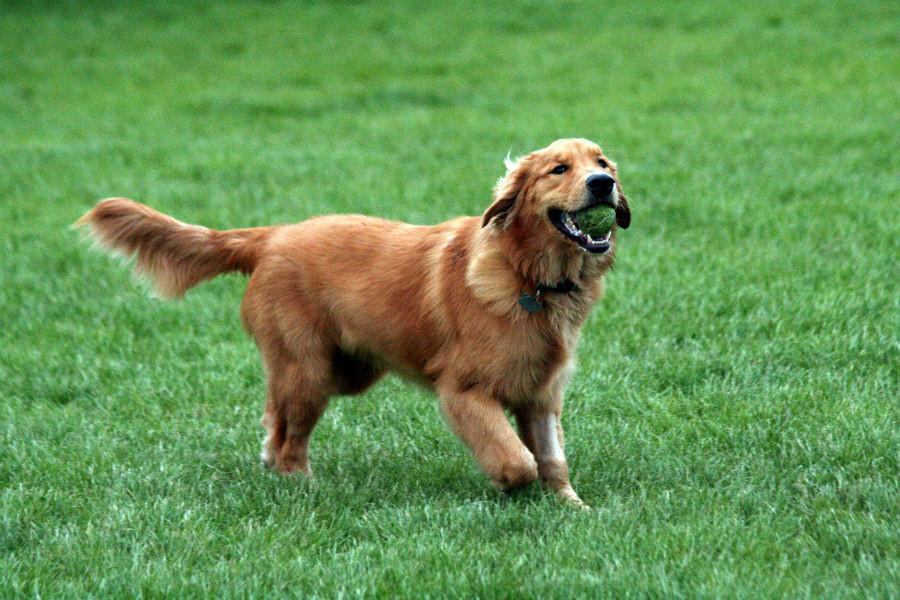 Golden+retriever+tries+out+for+every+sport%2C+makes+varsity+on+each+one