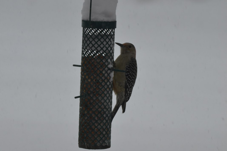 A sole woodpecker refuses to accept the change in season. This early November snowstorm threw quite the curveball to residents and wildlife alike as calls were made to scramble for the preservations needed for the cold hard months ahead.