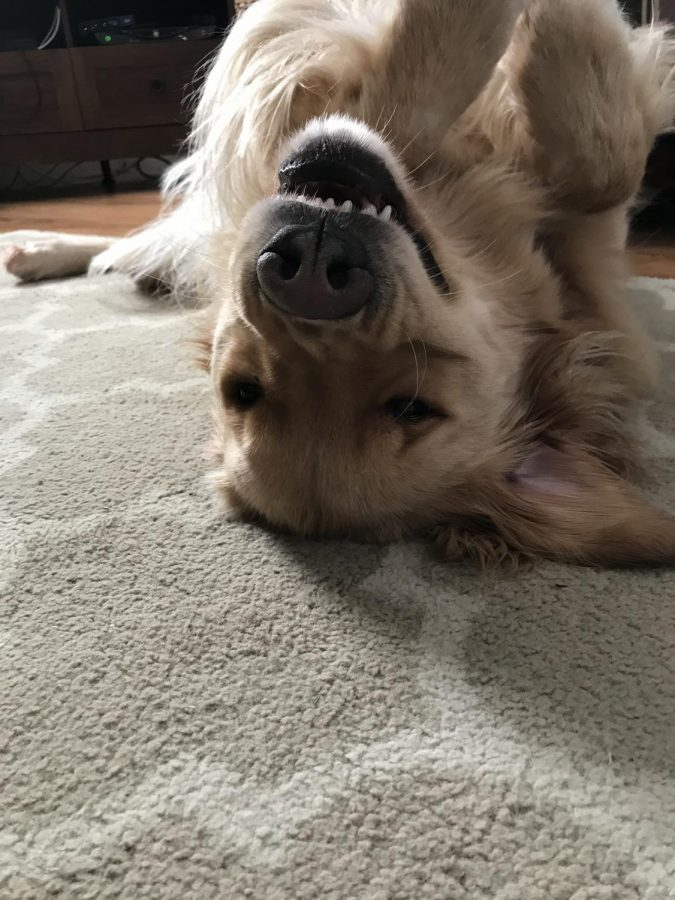 This+is+Finnegan%2C+a+5+year+old+golden+retriever+who+loves+the+snow.+He+enjoys+car+rides+and+long+walks.+He+loves+dog+treats%2C+and+will+do+almost+anything+to+get+one.+