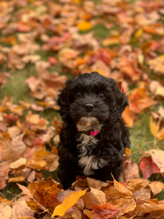 Please consider my submission of this tiny fluff, Nova, for dog of the week. She's our new puppy and she's 90% amazing 10% Tazmanian devil. She enjoys crinkly toys, leaves, and tugging her bed around the house.