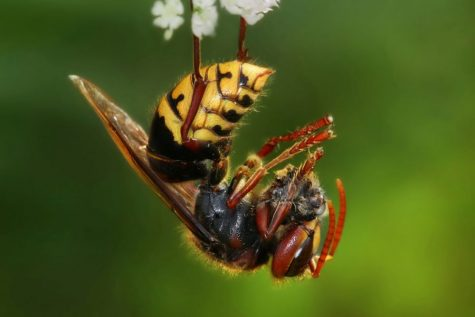 Being two inches long, it is the largest hornet in the world. It is mostly harmless to humans unless you disturb their nests. They are most dangerous to honey bees. Commonly found in China these hornets found their way to the US in late April early May.